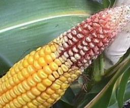 épi de maïs souffrant de sécheresse